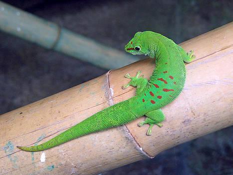 Day Gecko by Dan Lease
