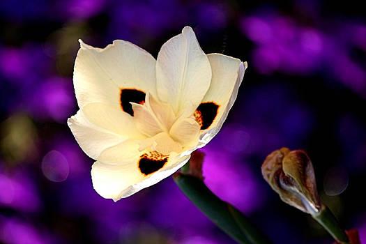 Karen Scovill - Dazzling Bloom