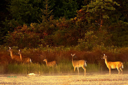 Deer at Edge of Pond by John Stoj