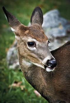 Deer Face by Swift Family