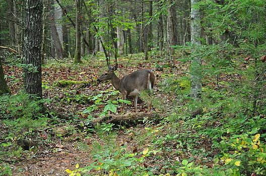Deer in Woods by Jeff Moose