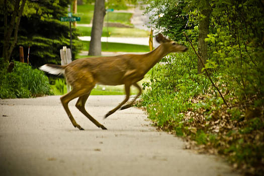 Deer Jumping Across Walking Trail in Muskegon by Jeramie Curtice