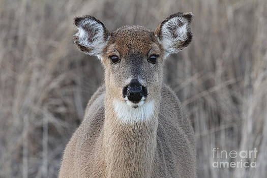Deer by Scenesational Photos