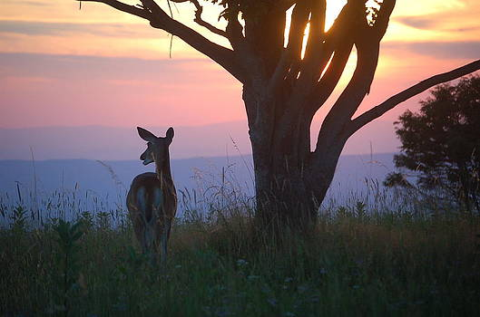 Deer Watching the Sunset by Patricia Kelly