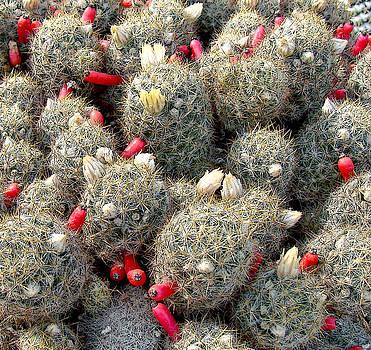 Roy Foos - Delicate Cactus Fruit