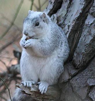 Delmarva Fox Squirrel by Glenn Lawrence