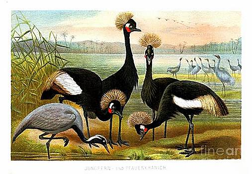 Demoiselle  Black Crowned and Sarus Cranes by Alfred Brehm by Brehm