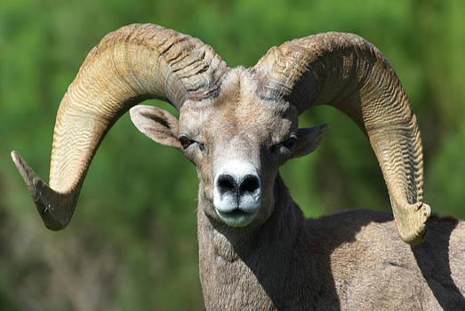 Julie Niemela - Desert Bighorn Sheep