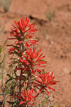 Julie Magers Soulen - Desert Paintbrush