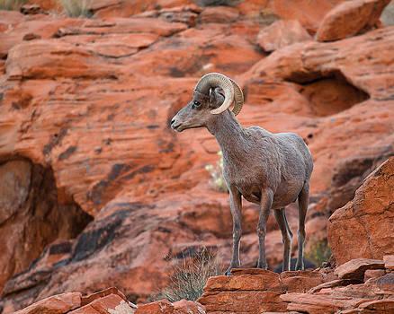Nathan Mccreery - Desert Sheep Ram