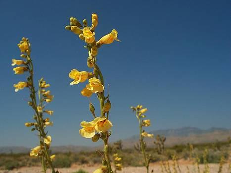 Desert Sweetpea by Jonathan Barnes