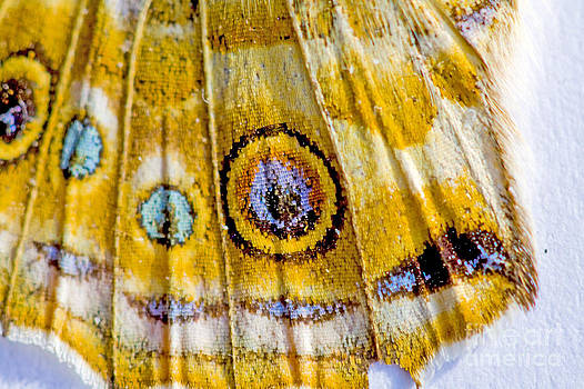Detail of Painted Lady Vanessa cardui. by Mary C Legg