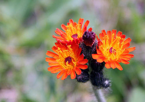 Devil's Paintbrush Man -Hieracium Aurantiacum by James Hammen