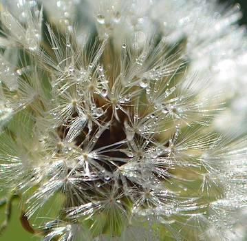 Dew Drenched Dandelion Seeds by Esther Luna
