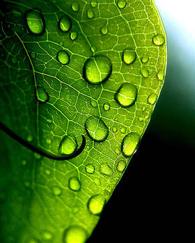 Dew Leaf by Michael Shreves