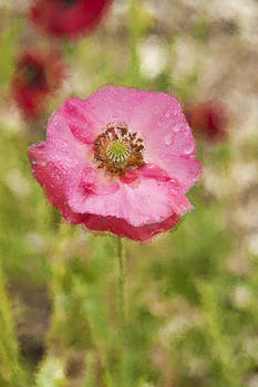 Dew on a Pink Poppy by Beverly Hanson