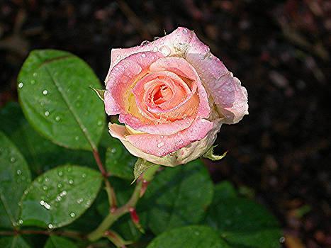 Dewy Rose by Jim Ziemer