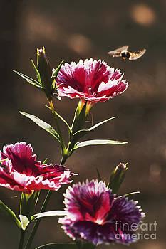 Dianthus by Wedigo Ferchland