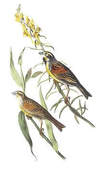 John James Audubon  - Dickcissel