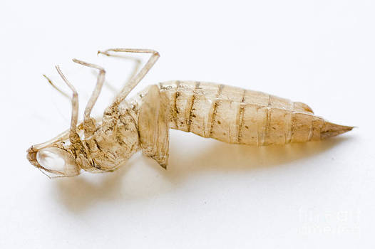 Discarded Exuvia by Mary C Legg
