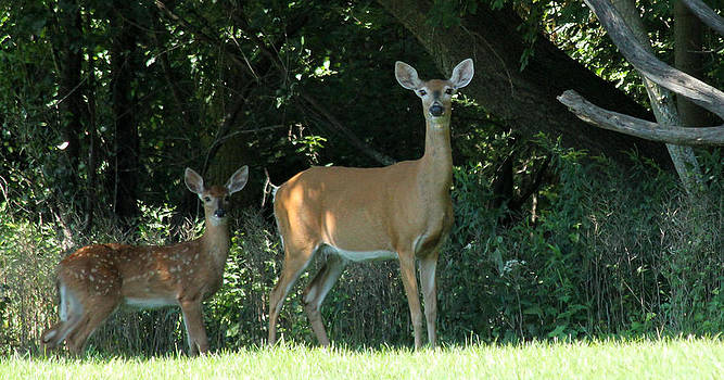 Doe and Fawn by James Hammen
