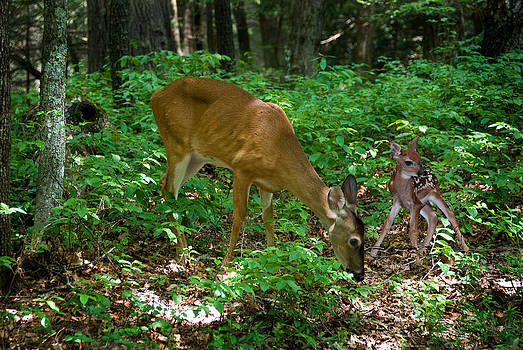 Doe With Fawn by Roger Phipps