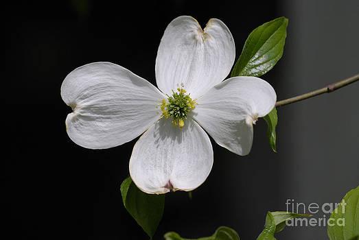 Dogwood Bloom by Randy Bodkins