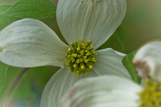 Dogwood blossom by Margaretha Brooks