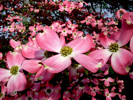 Dogwood Brilliance by Andrew Leahey