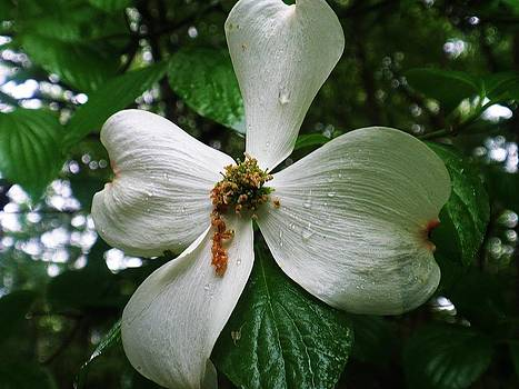 Dogwood Flower After a Rain by Beth Dennis