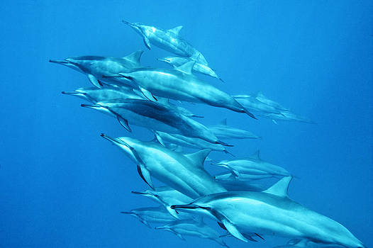 Dolphins Blue by Michael Sweet