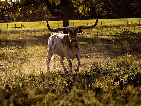 Don't Mess With Texas ..... Long Horns that is  by Kelly Rader