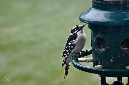 Downy woodpecker at feeder by Healing Woman