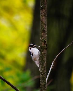 Scott Hovind - Downy Woodpecker
