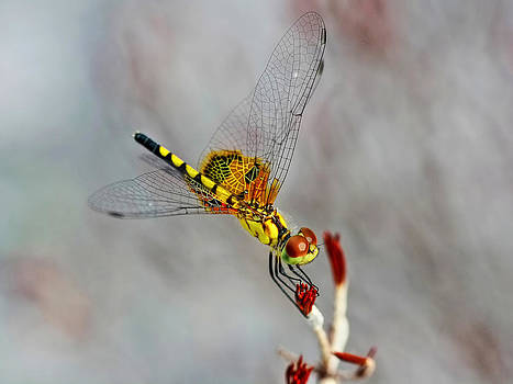 Dragon Fly at Rest  by Jenny Ellen Photography