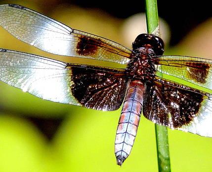 Amalia Jonas - Dragonflies