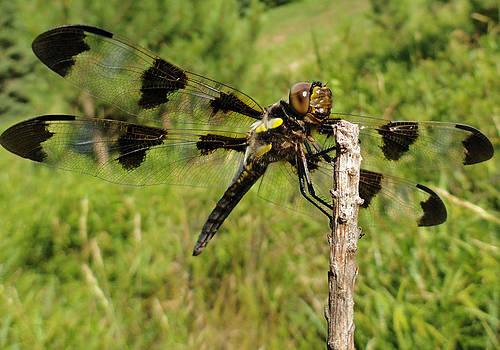 Sue Duda - Dragonfly - Skimmer 2