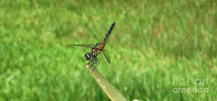 Dragonfly Acrobat by Denise Hopkins