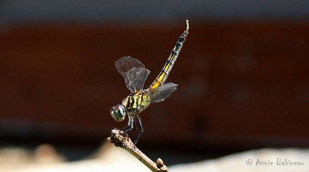 Anne Babineau - dragonfly
