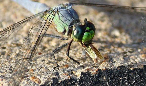 Anne Babineau - dragonfly feast