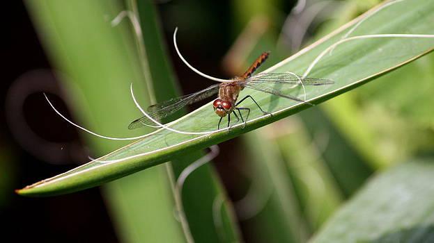 Annie Babineau - dragonfly hammock