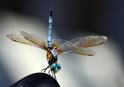 Dragonfly Handstand by Sandi OReilly