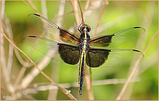 Dragonfly. by Jenny ODell