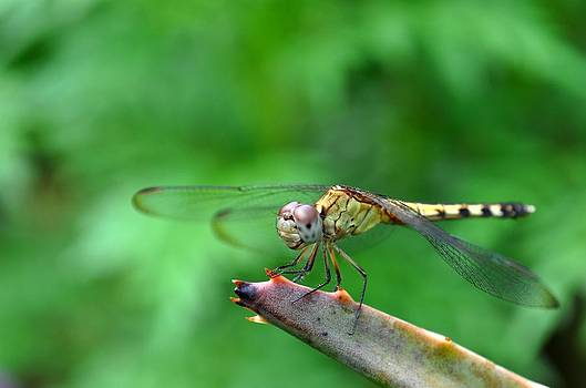 Dragonfly by Kelsey Mayer