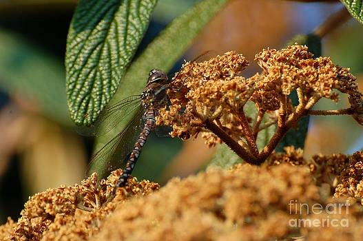 Dragonfly by Marsha Thornton