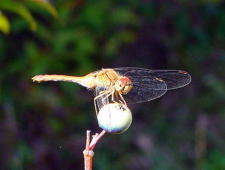 Dragonfly On Sphere by Mark Haley