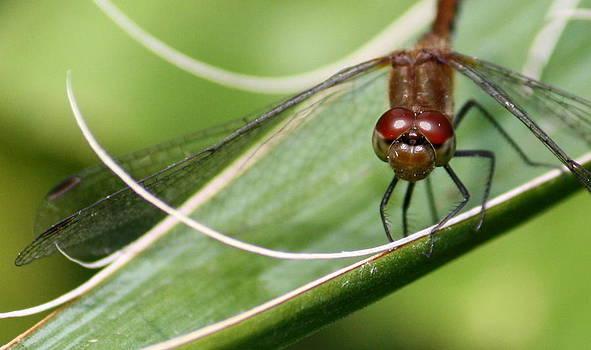 Annie Babineau - dragonfly on yucca