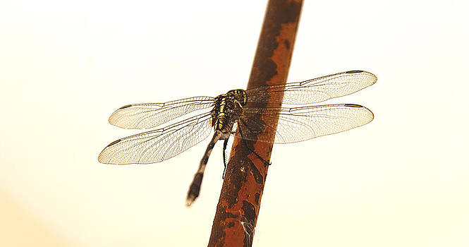 Kantilal Patel - Dragonfly Rusty Iron Bar