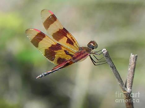 Dragonfly by Sandy Owens