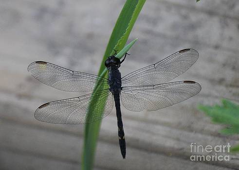 Dragonfly by Scenesational Photos